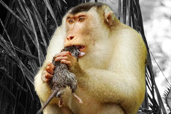 If monkeys do not get food, they will make products with humans