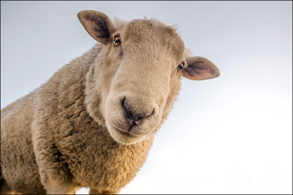 Pfizer has denied a bizarre claim that sheep went sex mad